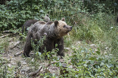 IMG_6510 (Branko.Hlad) Tags: medvedka bears gozd narava živali animals