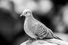 Zebra Dove (Thomas Hawk) Tags: hawaii maui wailea bird bw dove zebradove fav10 fav25 fav50