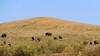 Buffalo (Preita) Tags: blackhills southdakota sd touring motorcycletouring buell harley s