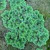 Azolla filiculoides AMERICAN WATER FERN. (openspacer) Tags: azolla azollaceae jasperridgebiologicalpreserve jrbp marsh pattern waterfern