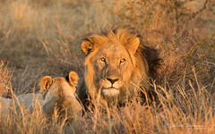 Lions (Raph/D) Tags: south africa afrique du sud voyage travel canon eos 7d mark ii canoneos7dmarkii l series lseries catchy colors swaziland safari lion lions male wildlife madikwe game reserve felin feline young 70200mm ef70200mmf28lusm sun sunset light