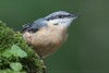 Nuthatch (Steve Nelmes Photography) Tags: animal avian birds cameragear canon canon14xteleconverter canon1dxmark2 canon300mm28lmkii england feathered forestofdean nature nuthatch perched robin stevenelmesphotography wildanimal wildbird wildlife wildlifewatchingsuppliesbeanbag
