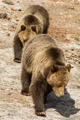 The lineup (ChicagoBob46) Tags: grizz grizzly grizzlybear bear cub yearling yellowstone yellowstonenationalpark nature wildlife coth5 ngc