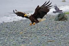 Incoming (r) (Blingsister-Melanie) Tags: eagleinflight eagle wildraptor americanbaldeagle baldeagle blingsister melanieleesonwildlifephotography canon canon7dmarkii canonef100400mmf4556lisiiusm northernvancouverisland