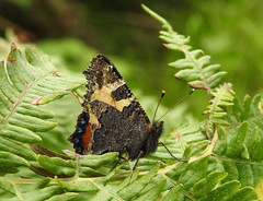 Adopt the pace of nature (Lancashire Lass :) :) :)) Tags: quote nature countryside tortoiseshell woods trees fern butterfly green insect macro august summer bracken
