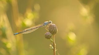 Blue Damselfly, male (Enallagma cyathigerum) backlit