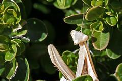 Mante religieuse VI (DSC_0897_1_pic) (dmnq_fenot) Tags: smileonsaturday bizarrebugs 7dwf fauna closeup