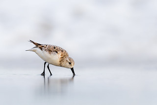 Sanderling White-Out
