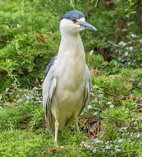 JWL7983  Night Heron..