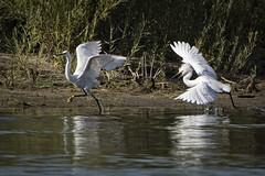 Snowy Egrets Hunting Ground Dispute (wfgphoto) Tags: snowyegrets huntinggrounddispute chase move fly run leave