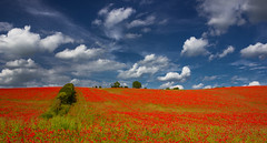 Poppy parade (snowyturner) Tags: poppies field sky clouds landscape hills agriculture flowers spring red
