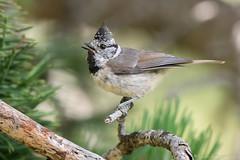 Enfin en boîte. (DorianHunt) Tags: crestedtit birds bokeh spain july 2017 nikond500 sigma 150600mm wwwphotologisticscom