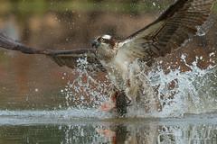 Grab a cat. (Earl Reinink) Tags: osprey raptor fish fishing catfish splash water earl reinink earlreinink nikon duodhazdia