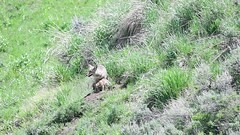 Super Short Video of Coyote with Pup - JH5_1700 (teagden) Tags: video coyote pup coyotepup baby babycoyote jenniferhall jenhall jenhallphotography jenhallwildlifephotography wildlifephotography wildlife nikonvideo nikon wild nature naturephotography summer coyotevideo wyoming wyomingwildlife