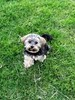 Flo Yorkie Poo Dog on Grass at Oakham Castle Oakham Rutland (@oakhamuk) Tags: flo yorkiepoo dog grass oakhamcastle oakham rutland