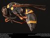 Potter wasp (Vespidae, Parancistrocerus sp.) (insectsunlocked) Tags: hymenoptera vespidae eumeninae parancistrocerus potterwasp bugsinbugs