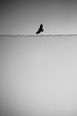 *** (Misha Sokolnikov) Tags: bird barbedwire sky sunset fly crow raven sanfrancisco ca sanfranciscoca california leica leicamonochrom monochrom 50mm aposummicron blackandwhite noiretblanc
