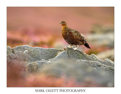 Red Grouse in Heather as the sun came up. (Mark Ollett) Tags: redgrouse heather yorkshire yorkshiredales rock gamebird wildlife bird nikon august