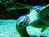 Sea Turtle (haraldluiki3) Tags: seaturtle turtle meeresschildkröte animalphotography animaltheme animalthemes animal unterwasserwelt unterwasser unterwasserfotografie underwater underwaterphotography underwaterworld