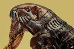 Siphonaptera (Luciano Richino) Tags: siphonaptera pulga macro extreme micro 20x nikon d750 animal nature fear insect flea
