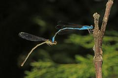Big Bluet - Enallagma durum, Occoquan Bay National Wildlife Refuge, Woodbridge, Virginia (judygva) Tags: macromondays connection