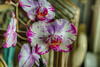 DMT_20170815084213 (Felicia Foto) Tags: macro orchid tennessee hdr nikon nikond600 indoors d600 3xp magenta purple white yellow allrightsreserved denisetschida geotagged photoshop photomatix flora flower flowers middletennessee blooming highdynamicrange