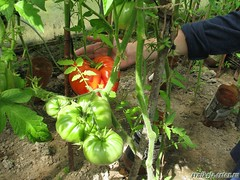 помидор в теплице