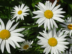 Marguerite (knightbefore_99) Tags: flower flor fleur garden bc vancouver west coast marguerite white yellow petals pretty cool bloom best awesome nice