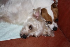 Best Buddies. Muttley and Barney (Muttley 05) Tags: dogs muttley barney family chihuahua friends pals buddies