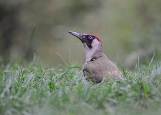 European Green Woodpecker DSC_2703