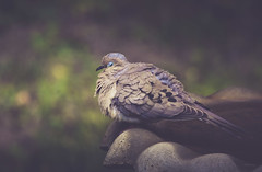 Sleepy morning for our resident dove (jm atkinson) Tags: morningdove maine sleepingdove backyard birdbath bird