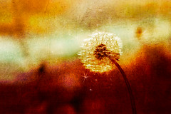 To come out (Ans van de Sluis) Tags: ansvandesluis dandelion tocomeout art fineart flower sunlight