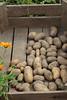 CKuchem-5986 (christine_kuchem) Tags: bauerngarten beet biogarten erde ernte erntekiste erntezeit feld frühkartoffel garten gartenerde gemüse gemüsebeet gemüsegarten glorietta grabgabel herbst holz holzkiste kartoffel kartoffelbeet kartoffelfeld kartoffelkiste kiste naturgarten nutzgarten pflanze privatgarten rarität sorte sortenvielfalt vielfalt alt bio biologisch frisch früh gesund naturnah natürlich reif