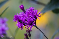 Vernonia géante (Ezzo33) Tags: france bordeaux gironde fleur fleurs flowers rouge rose mauve jaune ezzo33 sony rx10m3 jardin parc