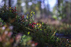 signs of Autumn (Stefano Rugolo) Tags: stefanorugolo pentax k5 smcpentaxm50mmf17 colors depthoffield dof bokeh signsofautumn signs autumn blueberries red light underwood forest trees woodland hälsingland sverige sweden