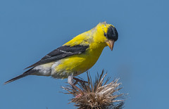 American Goldfinch (pictaker64) Tags: