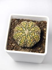 Astrophytum astereias Superkabuto Gold #1 (emilmorozoff) Tags: superkabuto gold