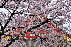 Sensoji XVII (Douguerreotype) Tags: urban cherryblossom blossom buildings pink flowers architecture cherry petals city tokyo japan shrine temple sakura