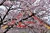 Sensoji XVII (Douguerreotype) Tags: urban cherryblossom blossom buildings pink flowers architecture cherry petals city tokyo japan shrine temple sakura
