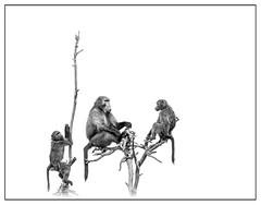 Watching... (Daniela 59) Tags: sliderssunday 7dwf 7dayswithflickr sundaythemefauna baboon chacmababoon tree deadtree watching observing blackandwhite highkey harnaswildlifefoundation danielaruppel hss