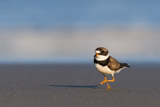 Side-Stepping Plover