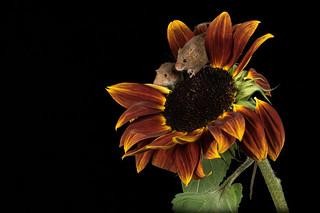 Three Harvest mice demolishing a sunflower