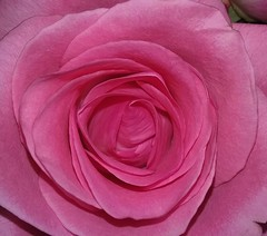 Pink Rose - (Pix.by.PegiSue>Thx 4 over 6M+ views! See my Albums) Tags: pixbypegisue rose pink flower floralfix flowerpower floral botanical catchycolors fleurs rosa flickrflowers