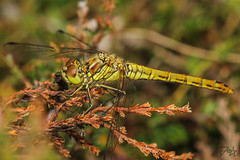 Sympetrum vulgatum (Photos by Azph) Tags: macro macrophotography dragonfly animals tamron180mm canon7d