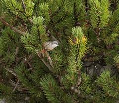 Grauwe vliegenvanger / Muscicapa striata (m.ritmeester) Tags: ngc naturelovers natuur maurach oostenrijk tirol grauwe vliegenvangen groen wit bruin berg mau