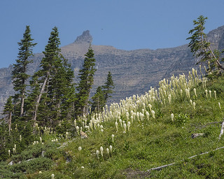 Beargrass - 1