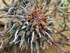 Euphorbia multiceps - E of skitterykloof, south africa (Russell Scott Images) Tags: euphorbiaceae succulentplant southafrica euphorbiamulticeps skitterykloof russellscottimages