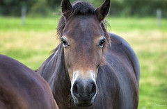 Exmoor Pony (Paula Darwinkel) Tags: exmoor pony horse horses mare animal cattle wildlife nature farm