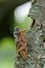 アブラゼミ [Graptopsaltria nigrofuscata]... (necydalis) Tags: insect hemiptera entomology nature wildlife cicada tokyo japan nikon d300s nikkor 105mm macro