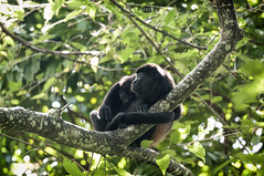 Nicaragua - Mombacho Volcano: Howler monkeys (Exper!ence it) Tags: nicaragua mombacho volcano nature rainforest jungle beauty mountains holiday hiking walking nikond300 80400mm